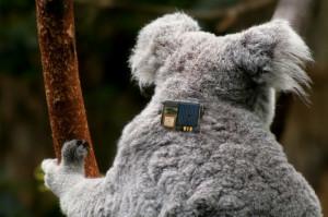 koala-back-1-with-tag